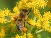 волохата бджола